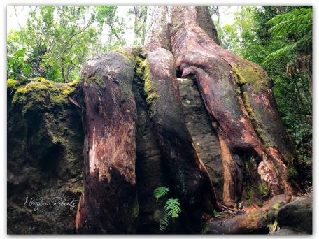 Octopus Tree CR2
