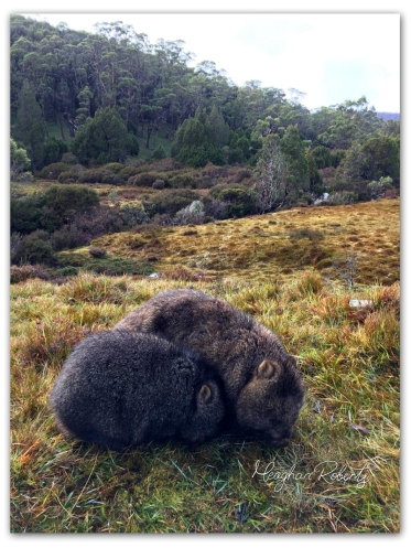 Wombats Cradle Mountain CR2