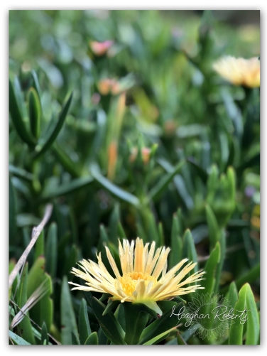 Yellow Pigface Succulent Bicheno CR2